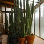 large cactus in the sunroom.